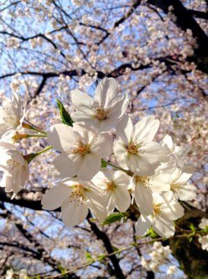 桜・咲くころ